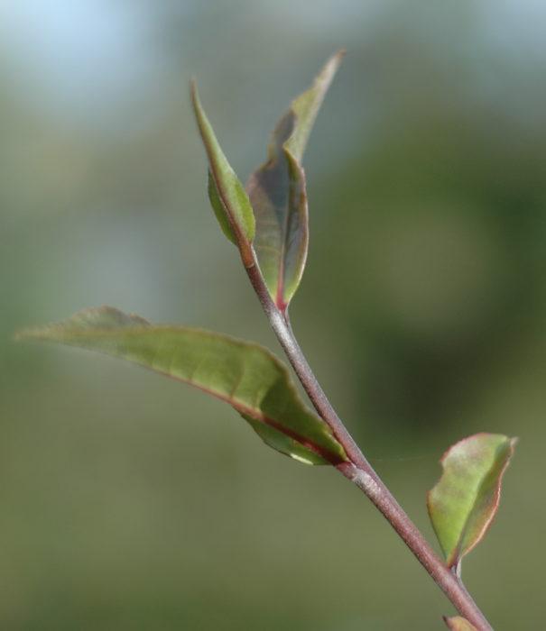 feuilles de thé