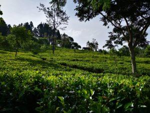 Le thé noir, du jardin à la tasse